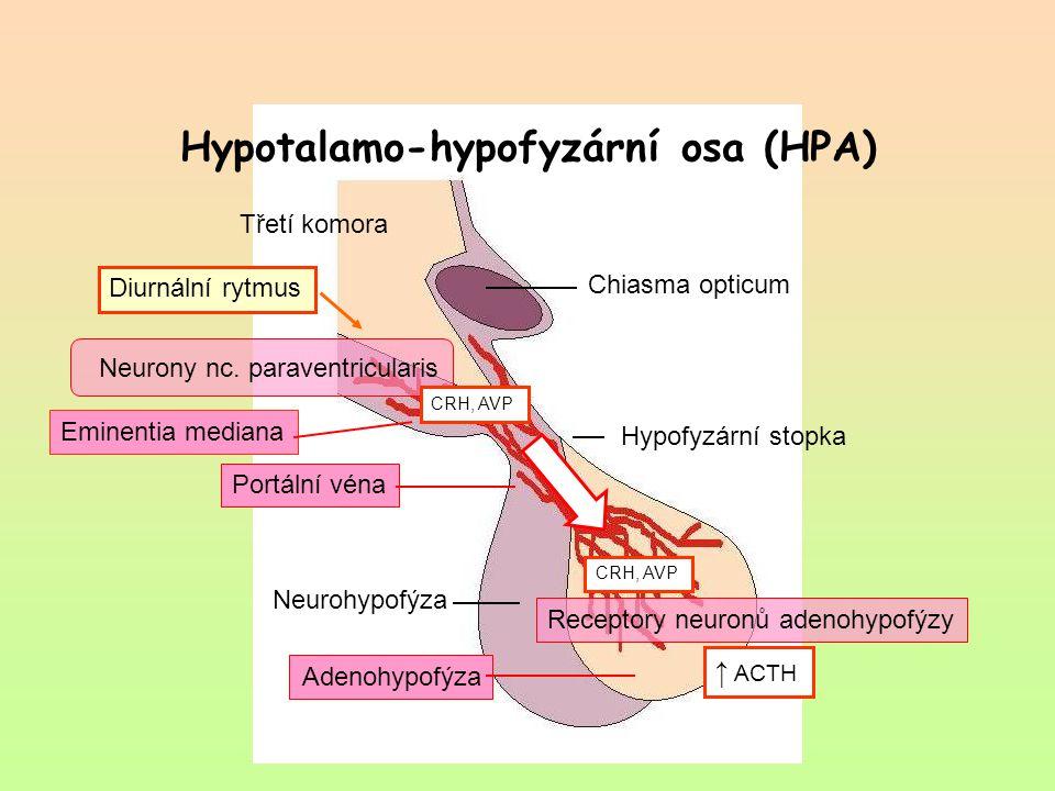 Chiasma opticum Eminentia mediana Hypofyzární stopka Portální véna Neurohypofýza Adenohypofýza Třetí komora Neurony nc. paraventricularis CRH, AVP ↑ A