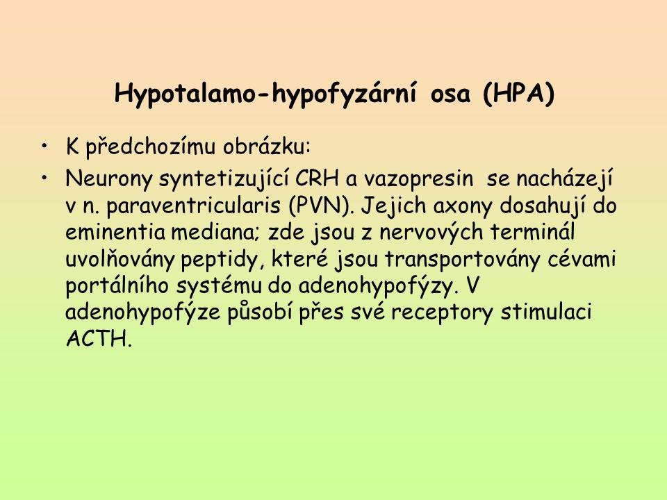 Hypotalamo-hypofyzární osa (HPA) K předchozímu obrázku: Neurony syntetizující CRH a vazopresin se nacházejí v n. paraventricularis (PVN). Jejich axony