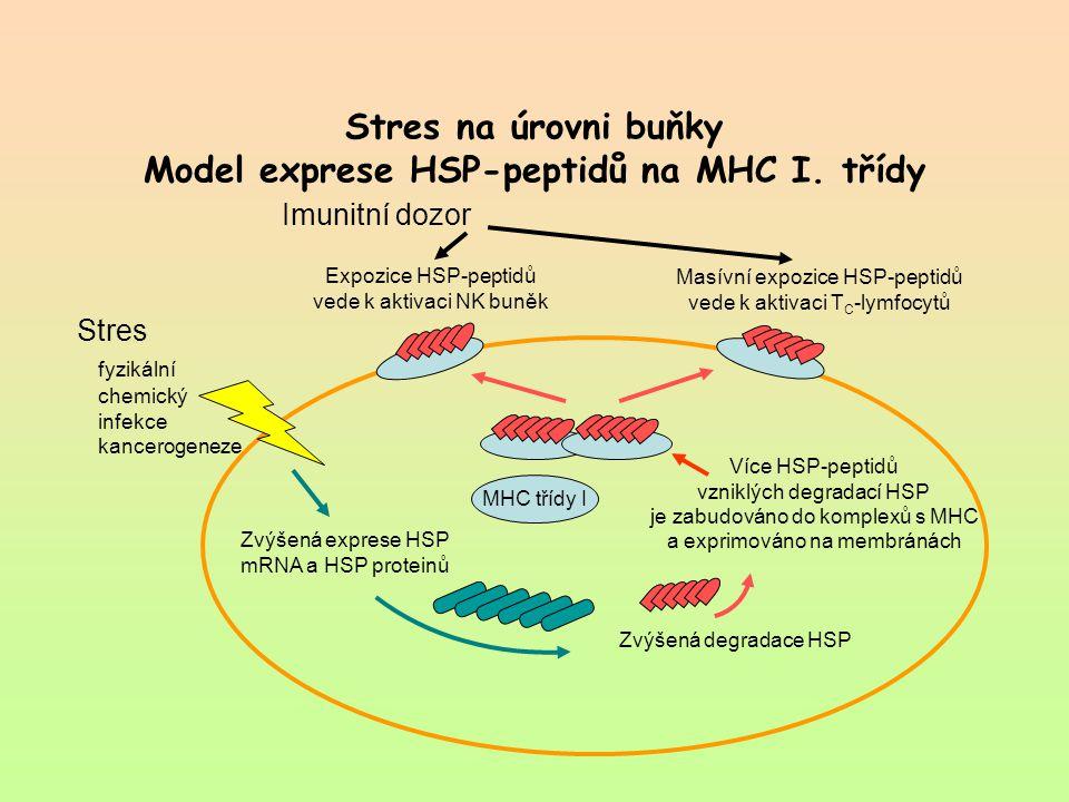 Stres na úrovni buňky Model exprese HSP-peptidů na MHC I. třídy Imunitní dozor Stres fyzikální chemický infekce kancerogeneze Expozice HSP-peptidů ved