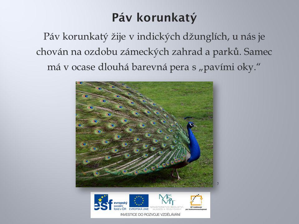 Páv korunkatý Páv korunkatý žije v indických džunglích, u nás je chován na ozdobu zámeckých zahrad a parků.