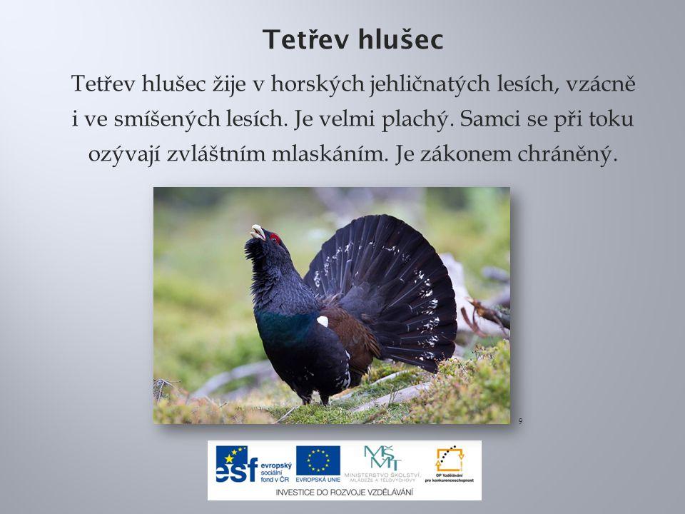 Tet ř ev hlušec Tetřev hlušec žije v horských jehličnatých lesích, vzácně i ve smíšených lesích.