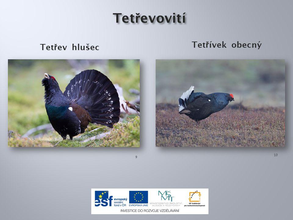 Ostruhy jsou: a)výrůstky na končetinách samců b)výrůstky pod zobákem samic c)výrůstky na hlavě samců i samic