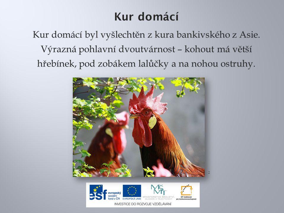 Kur domácí Kur domácí byl vyšlechtěn z kura bankivského z Asie.