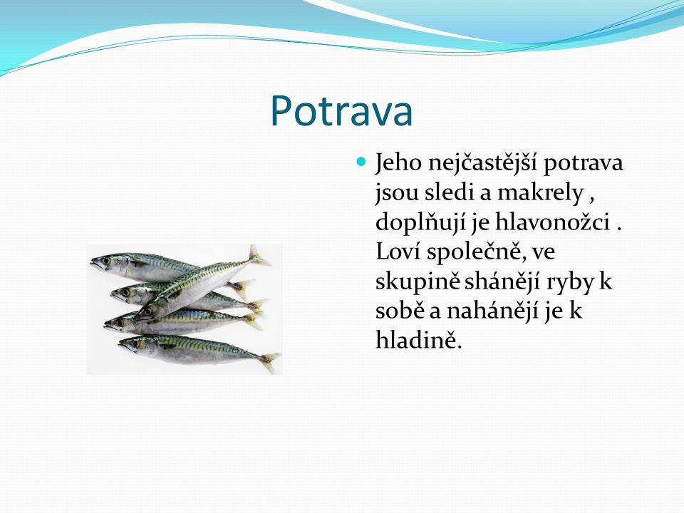 Potrava Jeho nejčastější potrava jsou sledi a makrely, doplňují je hlavonožci. Loví společně, ve skupině shánějí ryby k sobě a nahánějí je k hladině.