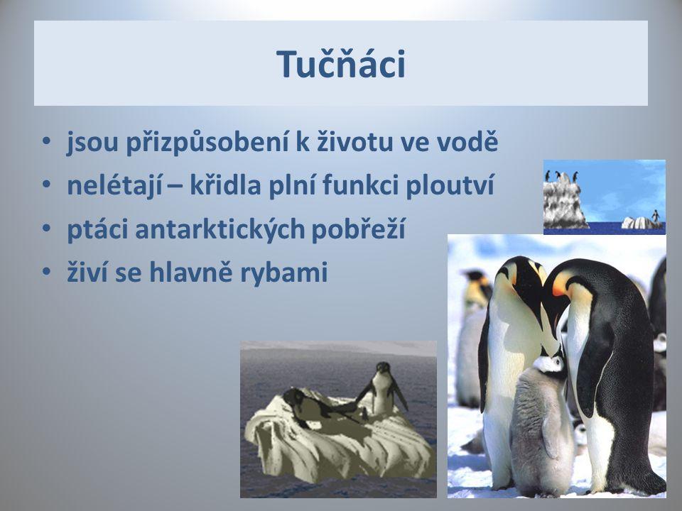 Tučňáci jsou přizpůsobení k životu ve vodě nelétají – křidla plní funkci ploutví ptáci antarktických pobřeží živí se hlavně rybami
