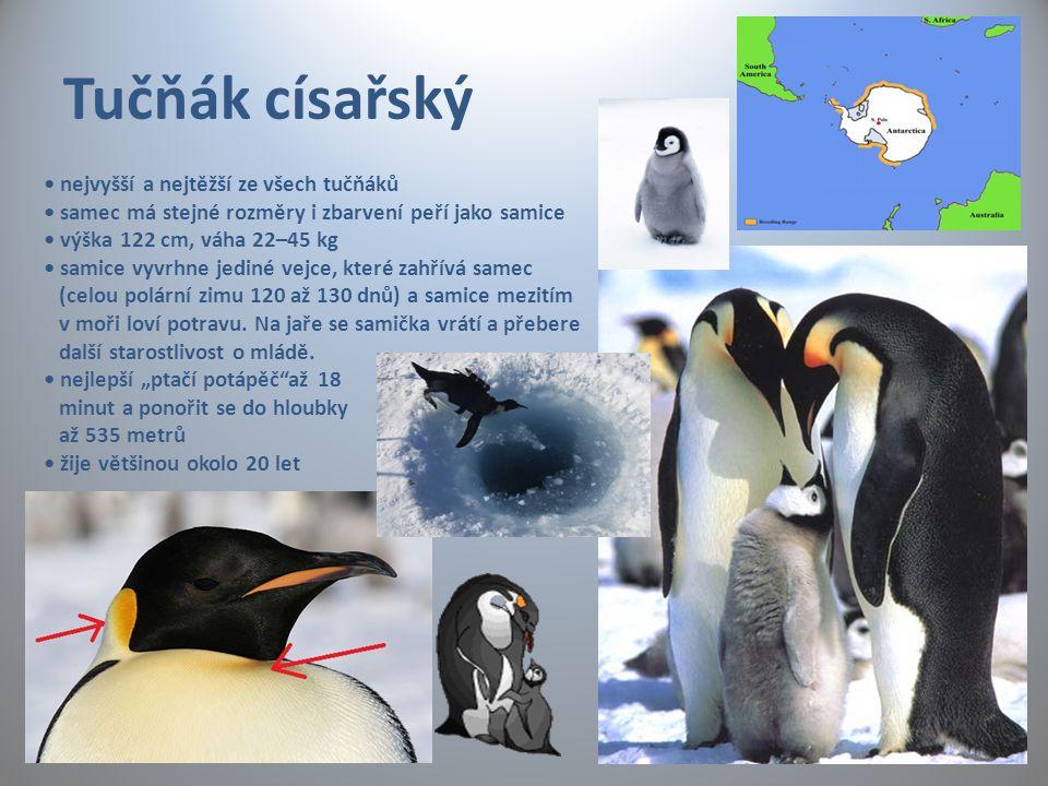 Tučňák císařský nejvyšší a nejtěžší ze všech tučňáků samec má stejné rozměry i zbarvení peří jako samice výška 122 cm, váha 22–45 kg samice vyvrhne je