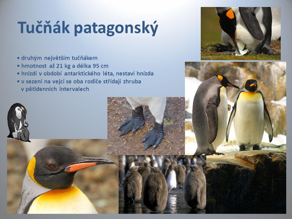 Tučňák patagonský druhým největším tučňákem hmotnost až 21 kg a délka 95 cm hnízdí v období antarktického léta, nestaví hnízda v sezení na vejci se ob