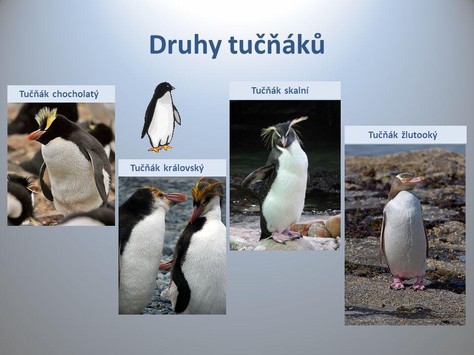 Druhy tučňáků Tučňák chocholatý Tučňák královský Tučňák skalní Tučňák žlutooký