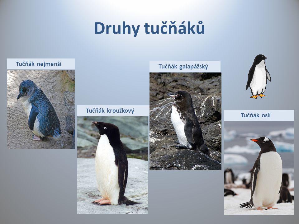 Druhy tučňáků Tučňák nejmenší Tučňák kroužkový Tučňák galapážský Tučňák oslí