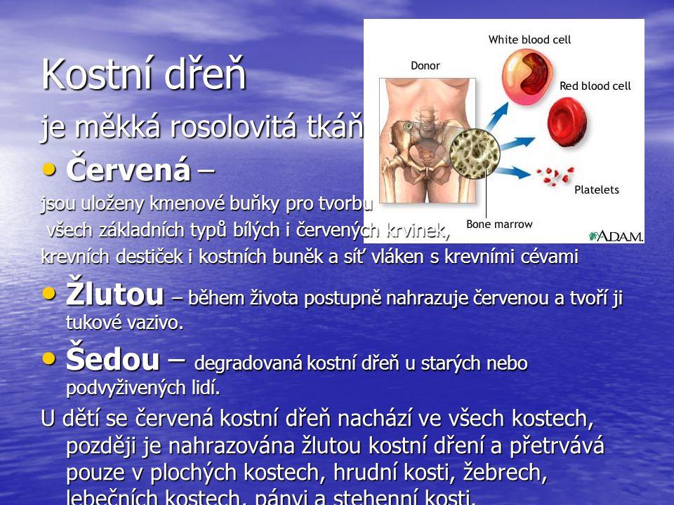 Kostní dřeň je měkká rosolovitá tkáň Červená – Červená – jsou uloženy kmenové buňky pro tvorbu všech základních typů bílých i červených krvinek, všech základních typů bílých i červených krvinek, krevních destiček i kostních buněk a síť vláken s krevními cévami Žlutou – během života postupně nahrazuje červenou a tvoří ji tukové vazivo.