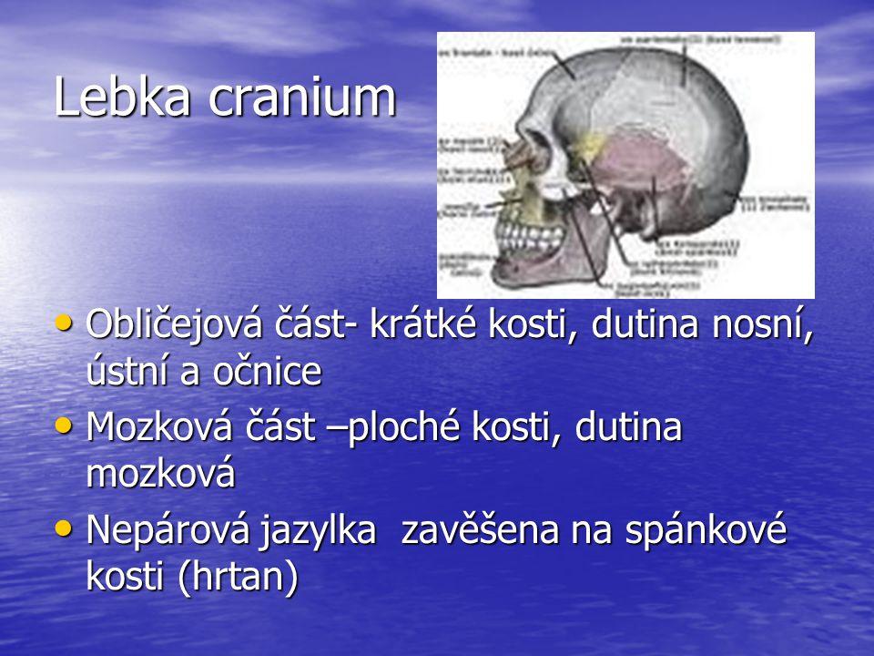 Lebka cranium Obličejová část- krátké kosti, dutina nosní, ústní a očnice Obličejová část- krátké kosti, dutina nosní, ústní a očnice Mozková část –ploché kosti, dutina mozková Mozková část –ploché kosti, dutina mozková Nepárová jazylka zavěšena na spánkové kosti (hrtan) Nepárová jazylka zavěšena na spánkové kosti (hrtan)