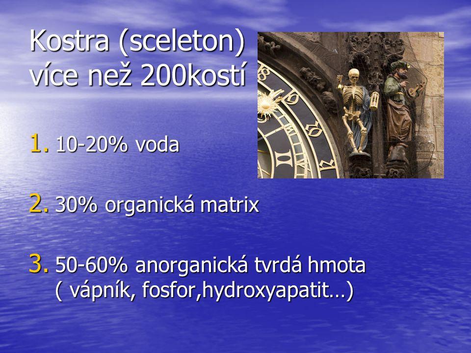 Kostra (sceleton) více než 200kostí 1.10-20% voda 2.