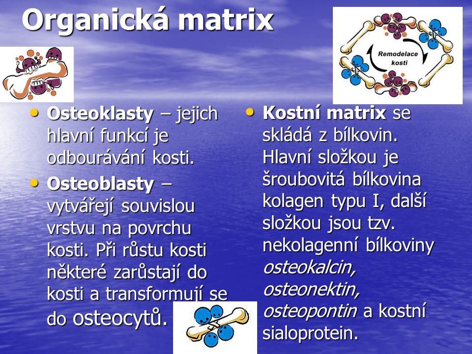 Organická matrix Osteoklasty – jejich hlavní funkcí je odbourávání kosti.
