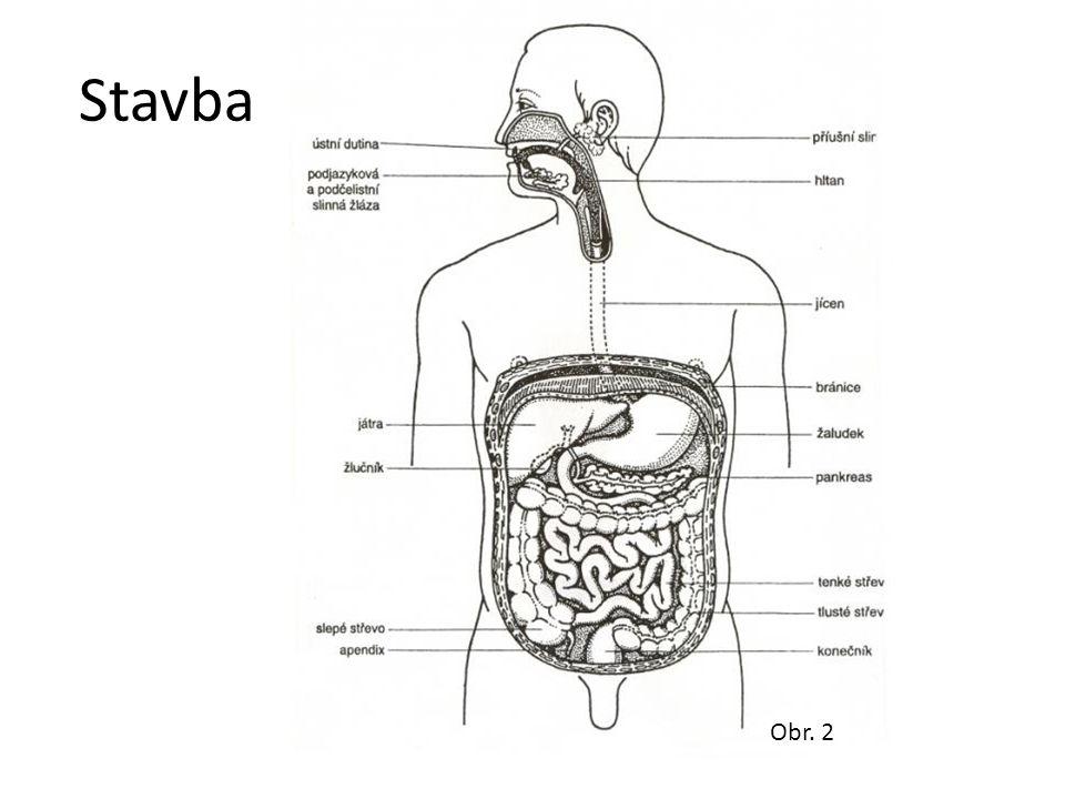 Dutina ústní Příjem a zpracování potravy – Mechanické - zuby, jazyk – Chemické - sliny