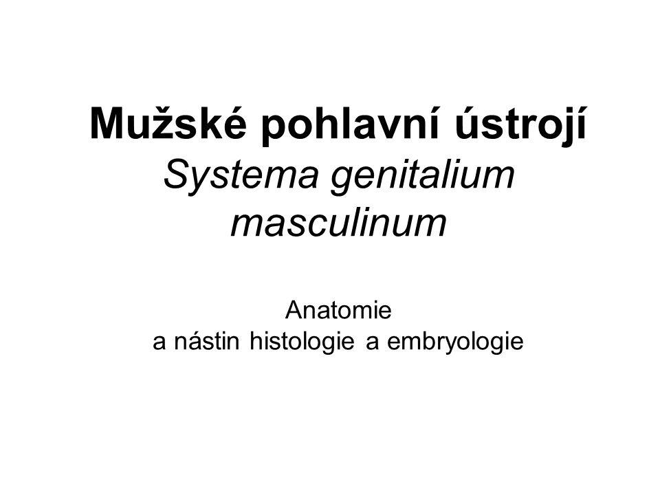 Mužské pohlavní ústrojí Systema genitalium masculinum Anatomie a nástin histologie a embryologie
