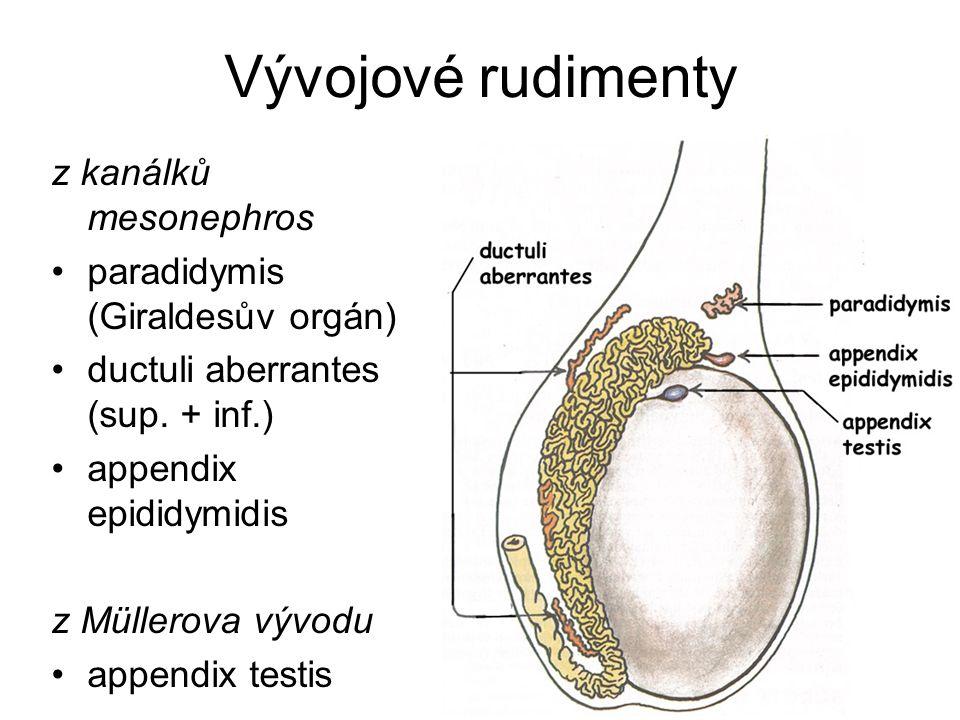 Vývojové rudimenty z kanálků mesonephros paradidymis (Giraldesův orgán) ductuli aberrantes (sup. + inf.) appendix epididymidis z Müllerova vývodu appe