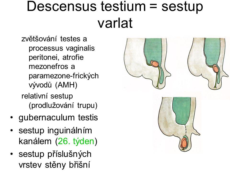 Descensus testium = sestup varlat zvětšování testes a processus vaginalis peritonei, atrofie mezonefros a paramezone-frických vývodů (AMH) relativní sestup (prodlužování trupu) gubernaculum testis sestup inguinálním kanálem (26.