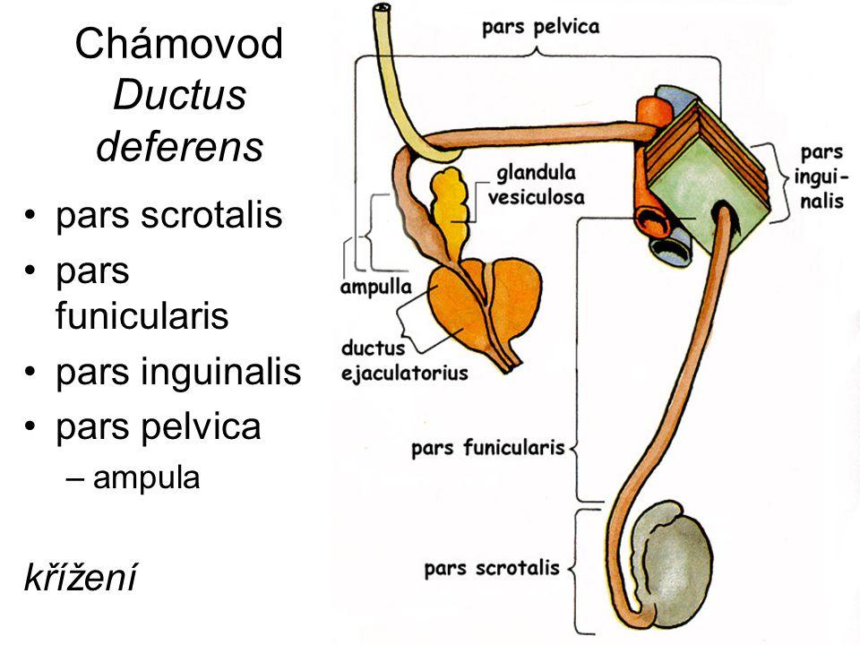 Chámovod Ductus deferens pars scrotalis pars funicularis pars inguinalis pars pelvica –ampula křížení