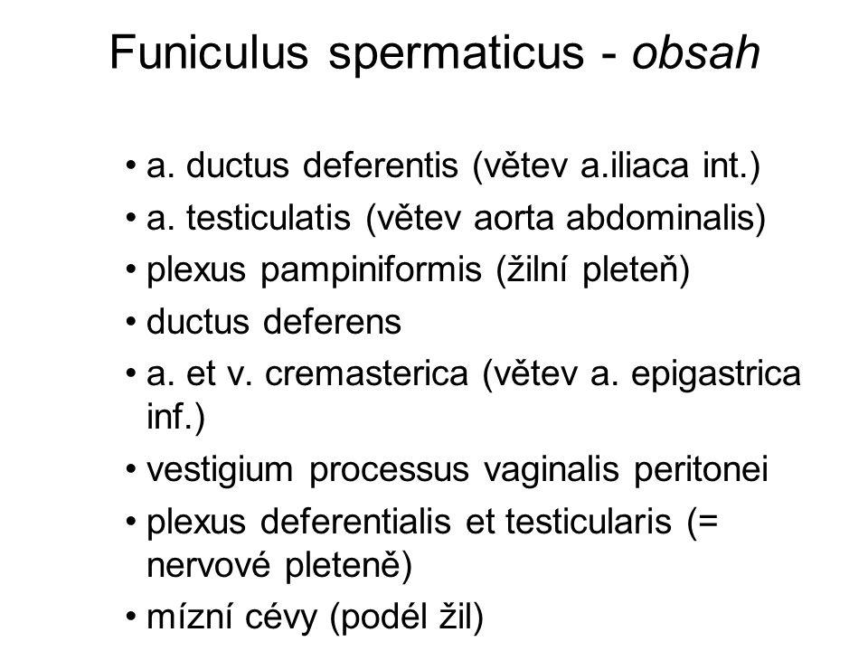 Funiculus spermaticus - obsah a. ductus deferentis (větev a.iliaca int.) a. testiculatis (větev aorta abdominalis) plexus pampiniformis (žilní pleteň)