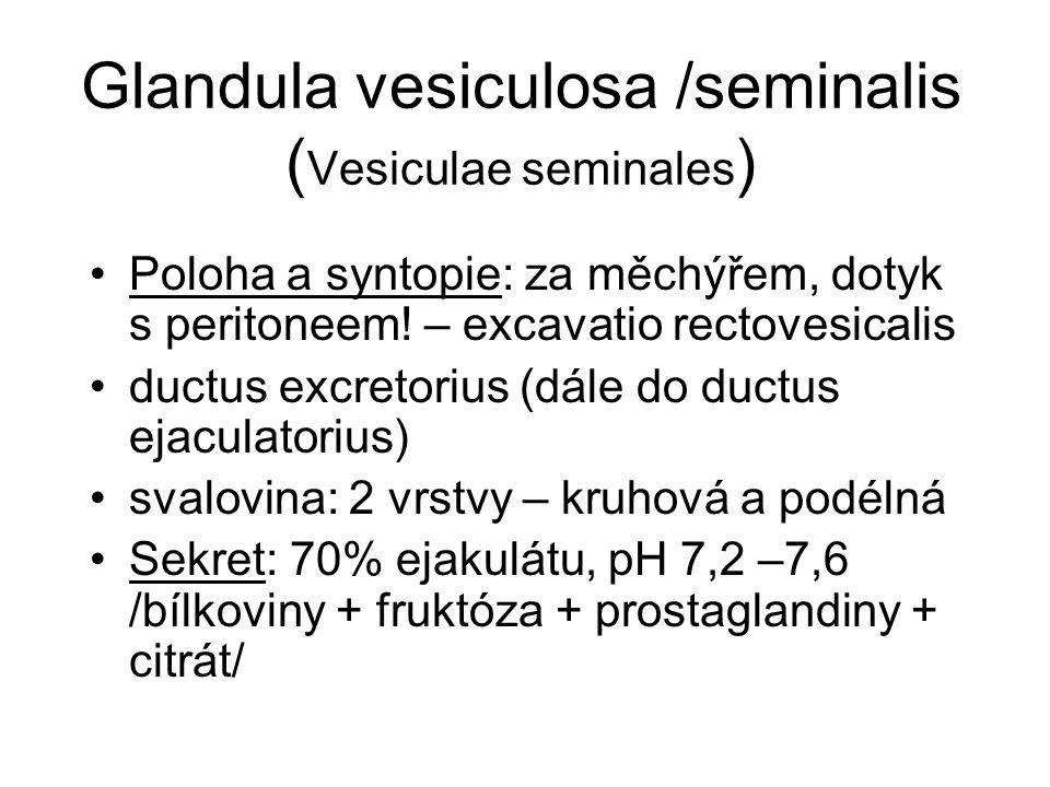 Glandula vesiculosa /seminalis ( Vesiculae seminales ) Poloha a syntopie: za měchýřem, dotyk s peritoneem! – excavatio rectovesicalis ductus excretori