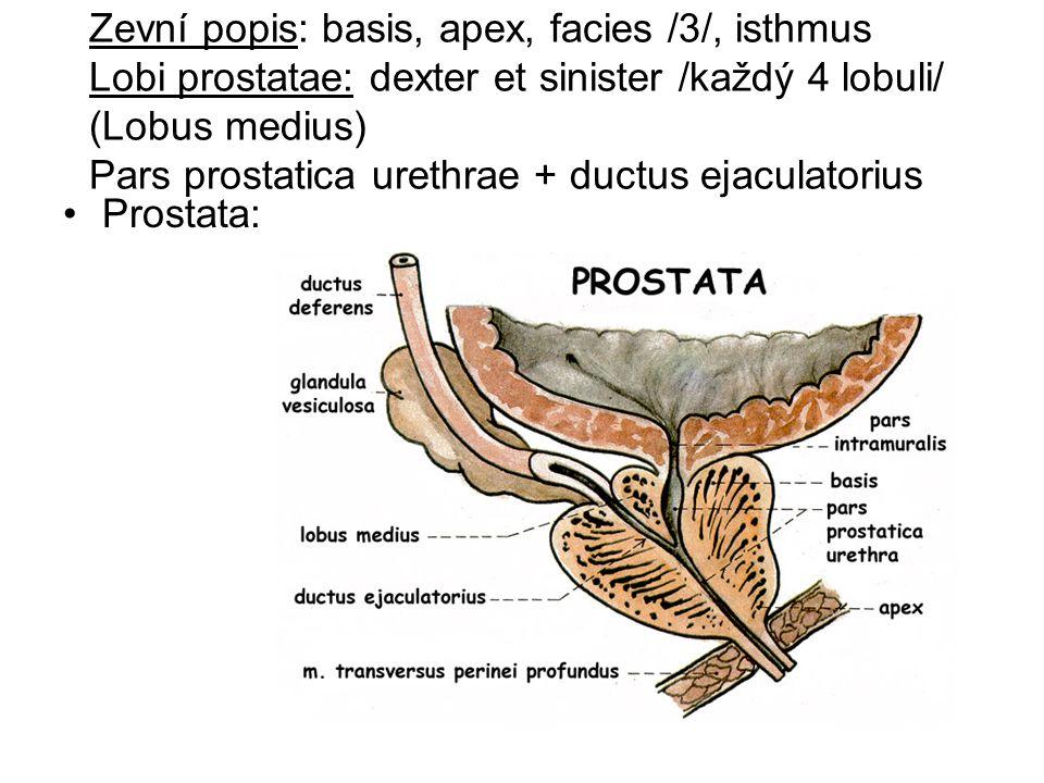 Zevní popis: basis, apex, facies /3/, isthmus Lobi prostatae: dexter et sinister /každý 4 lobuli/ (Lobus medius) Pars prostatica urethrae + ductus ejaculatorius Prostata: