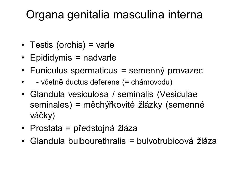 Organa genitalia masculina interna Testis (orchis) = varle Epididymis = nadvarle Funiculus spermaticus = semenný provazec - včetně ductus deferens (= chámovodu) Glandula vesiculosa / seminalis (Vesiculae seminales) = měchýřkovité žlázky (semenné váčky) Prostata = předstojná žláza Glandula bulbourethralis = bulvotrubicová žláza