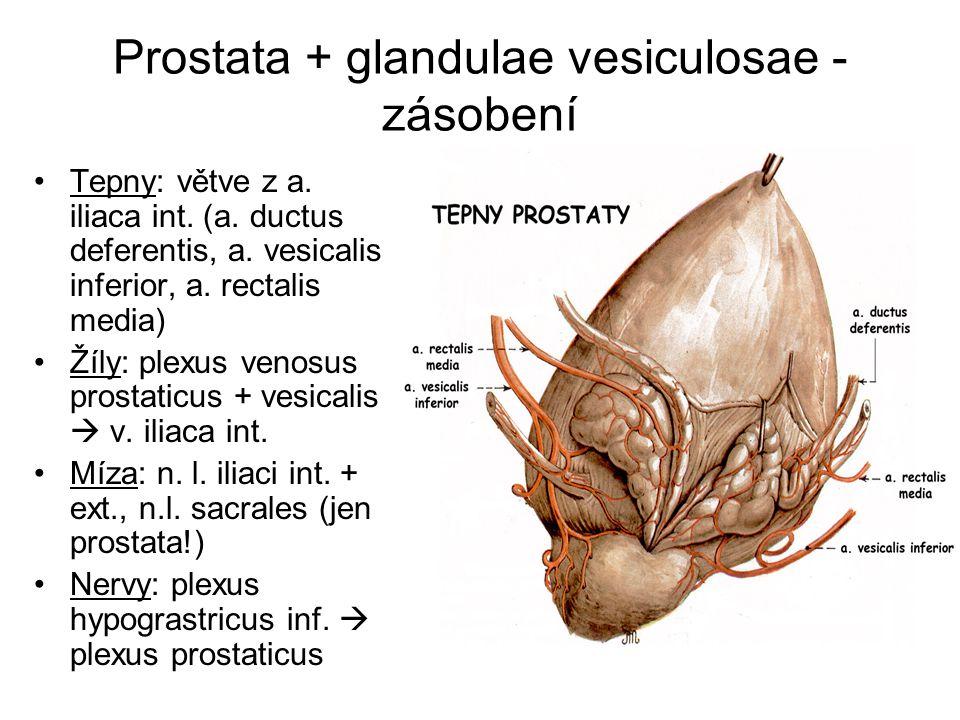 Prostata + glandulae vesiculosae - zásobení Tepny: větve z a.