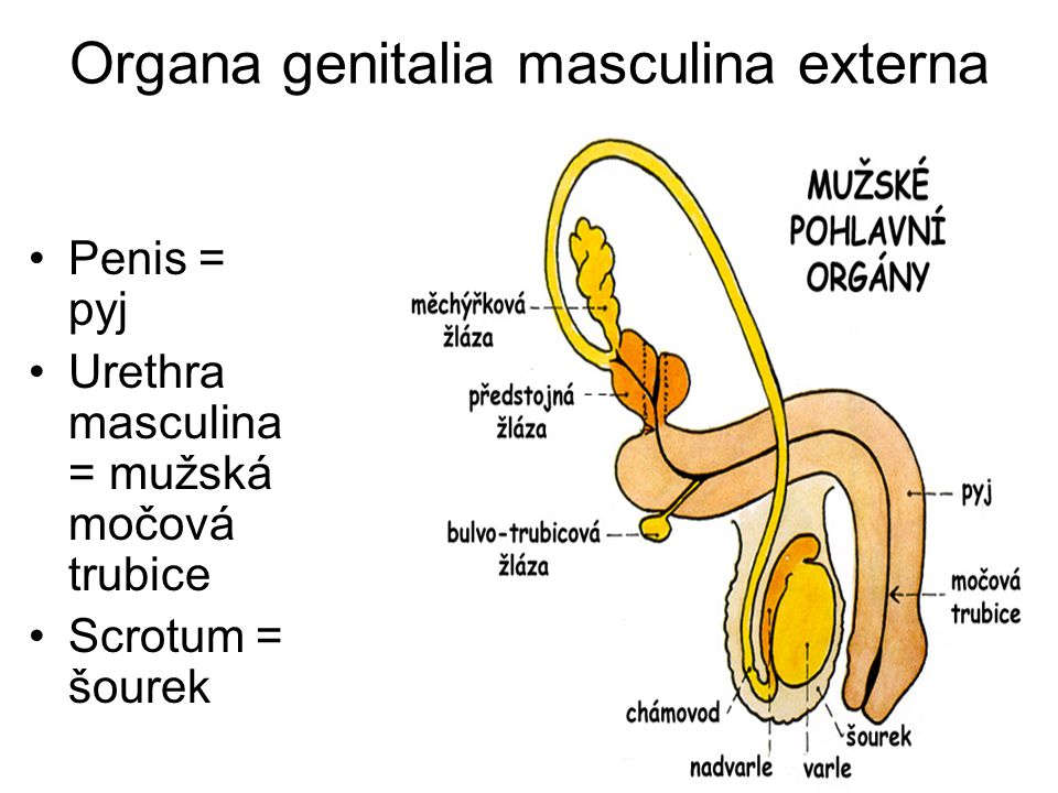 Organa genitalia masculina externa Penis = pyj Urethra masculina = mužská močová trubice Scrotum = šourek