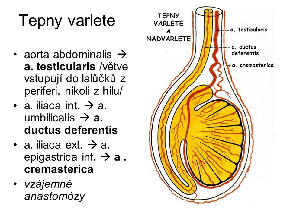 Testes et epididymides další zásobení Žíly: rete testis  plexus pampiniformis  vv.