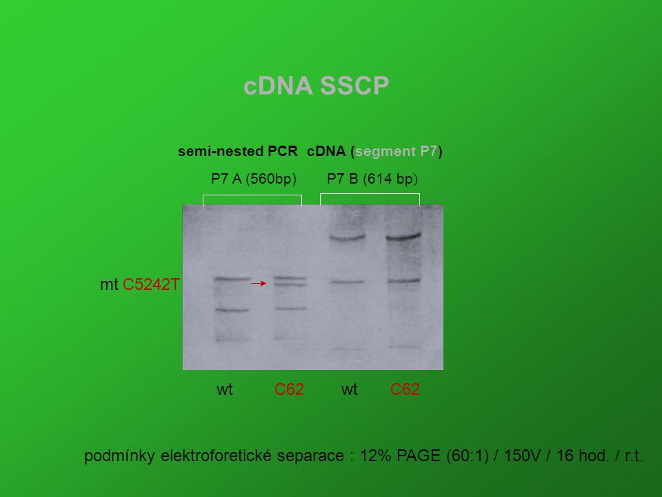 cDNA SSCP P7 A (560bp)P7 B (614 bp ) semi-nested PCR cDNA (segment P7) mt C5242T podmínky elektroforetické separace : 12% PAGE (60:1) / 150V / 16 hod.