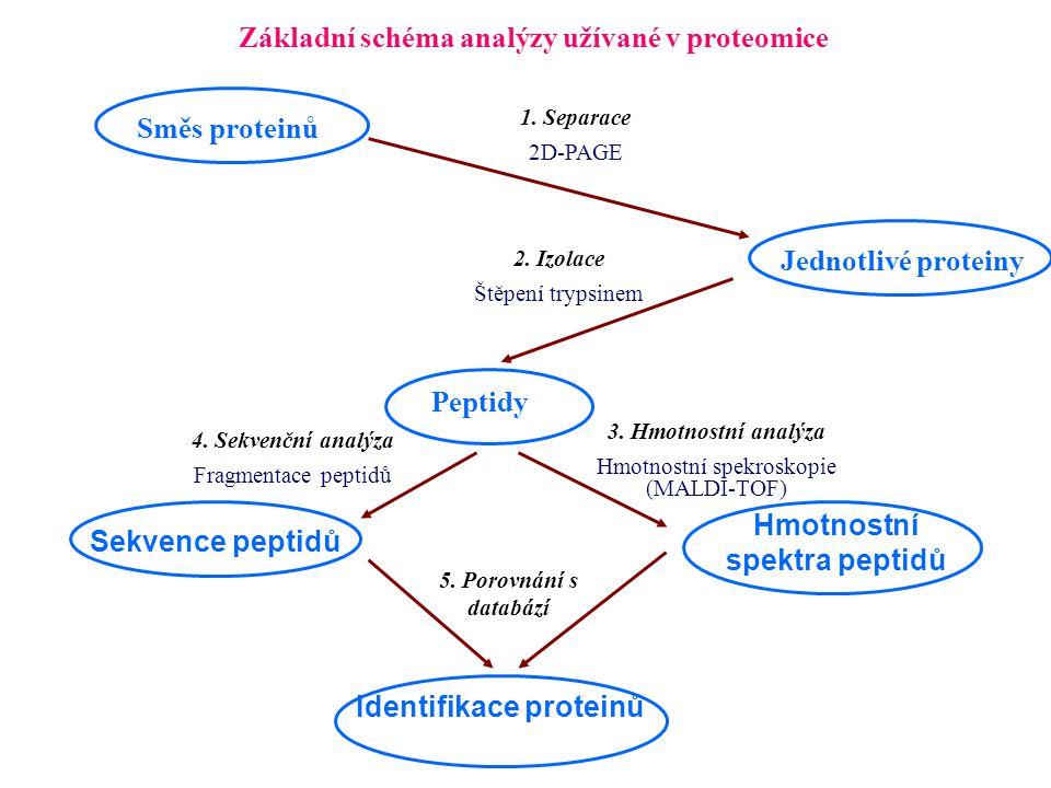 Základní schéma analýzy užívané v proteomice Směs proteinů Jednotlivé proteiny Peptidy Hmotnostní spektra peptidů Identifikace proteinů 1. Separace 2D