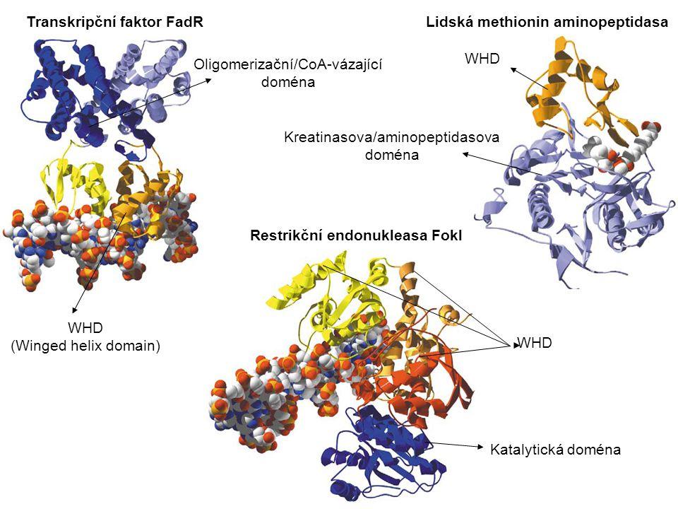 Transkripční faktor FadR WHD (Winged helix domain) Oligomerizační/CoA-vázající doména Restrikční endonukleasa Fokl WHD Katalytická doména Lidská methionin aminopeptidasa WHD Kreatinasova/aminopeptidasova doména