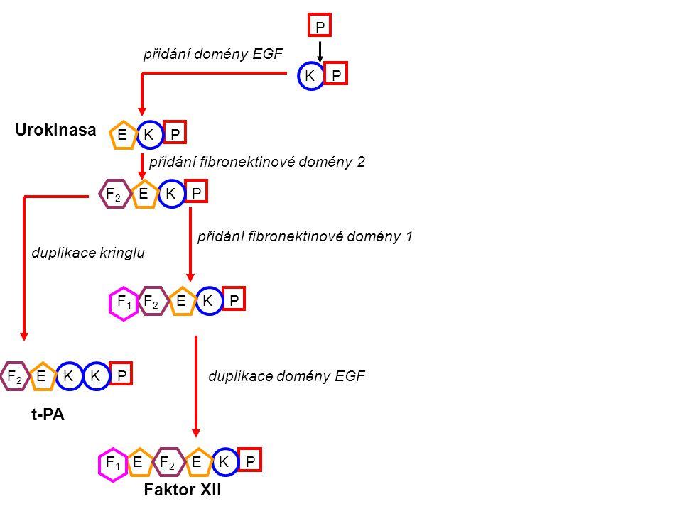 KP P K K K K KK PE P P P P E E EE E F2F2 F2F2 F2F2 F2F2 F1F1 F1F1 přidání domény EGF Urokinasa přidání fibronektinové domény 2 přidání fibronektinové