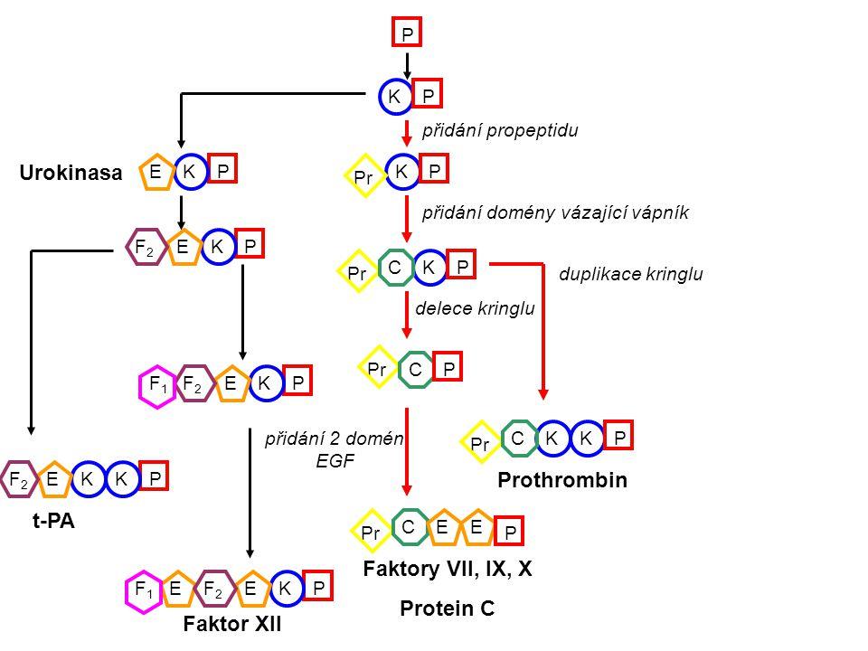KP P P P P P K K KKKK KKKKK KKKKK KK K K K K KK Pr PE P P P P P P P E E EE E F2F2 F2F2 F2F2 F2F2 F1F1 F1F1 C C CEE CP K opakovaná duplikace kringlu duplikace kringlu Růstový faktor hepatocytů Plasminogen Apolipoprotein (a) Obsahuje okolo 40 kringlů Urokinasa t-PA Faktor XII Prothrombin Faktory VII, IX, X Protein C