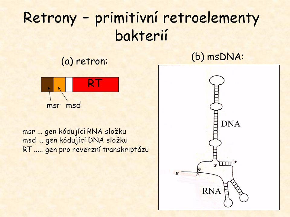 msrmsd msr... gen kódující RNA složku msd... gen kódující DNA složku RT..... gen pro reverzní transkriptázu RT (b) msDNA: (a) retron: Retrony - primit
