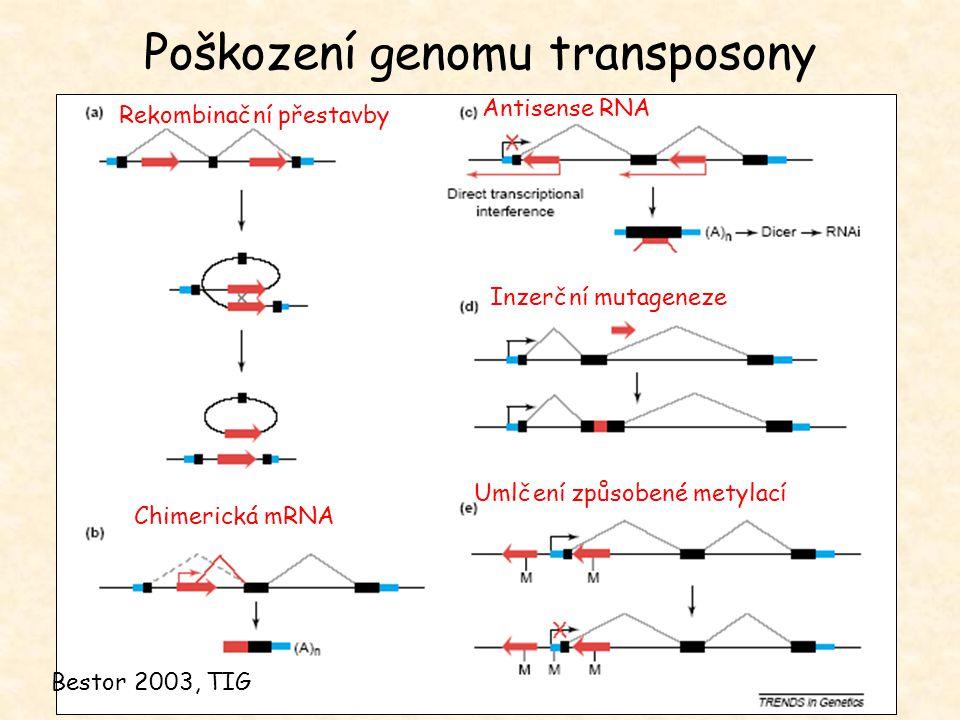 Poškození genomu transposony Inzerční mutageneze Chimerická mRNA Antisense RNA Rekombinační přestavby Umlčení způsobené metylací Bestor 2003, TIG