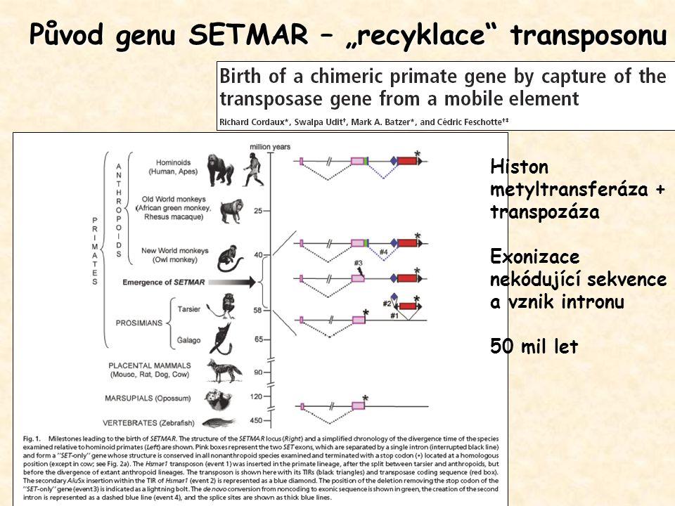 """Původ genu SETMAR – """"recyklace"""" transposonu Histon metyltransferáza + transpozáza Exonizace nekódující sekvence a vznik intronu 50 mil let"""