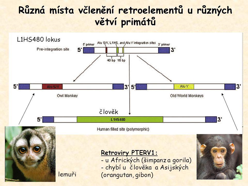 Různá místa včlenění retroelementů u různých větví primátů lemuři L1HS480 lokus Retroviry PTERV1: - u Afrických (šimpanz a gorila) - chybí u člověka a
