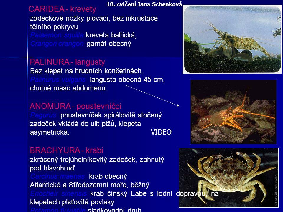 CARIDEA - krevety zadečkové nožky plovací, bez inkrustace tělního pokryvu Palaemon squilla kreveta baltická, Crangoncrangon garnát obecný PALINURA - l