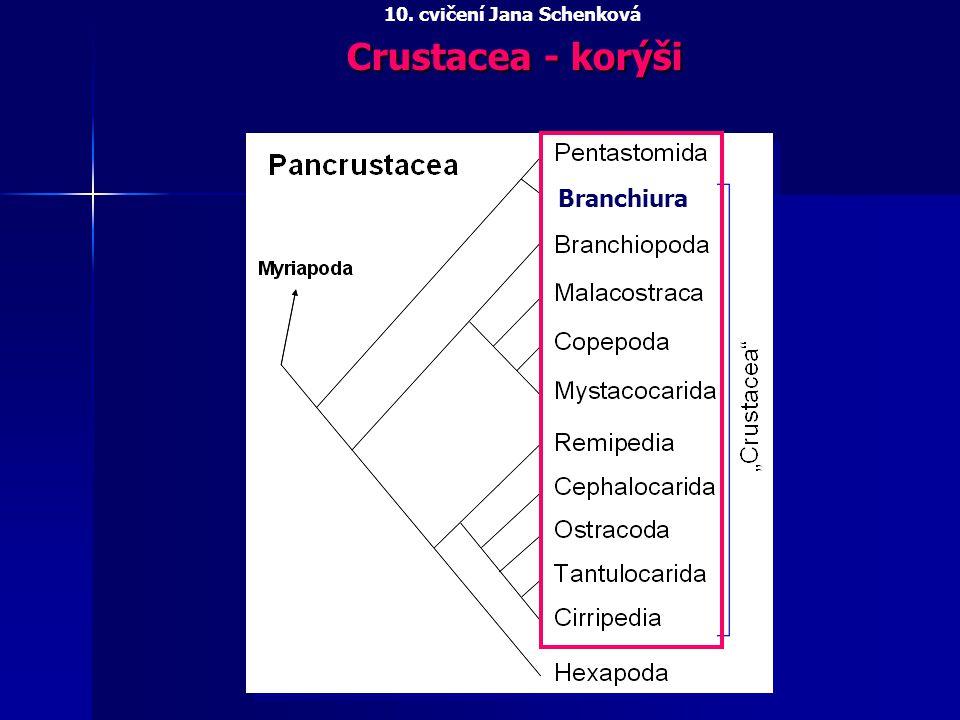 PENTASTOMIDA - jazyčnatky Tělo červovité Linguatula serrata jazyčnatka tasemnicová - 10 cm, v nosní a lebeční dutině psovitých šelem, larvální stádia zajíci a králíci BRANCHIURA - kapřivci ektoparaziti ryb, ploché terčovité tělo, tykadla přeměněny v příchytné háčky Argulus foliaceus kapřivec plochý, stilet vznikl z mandibul 10.