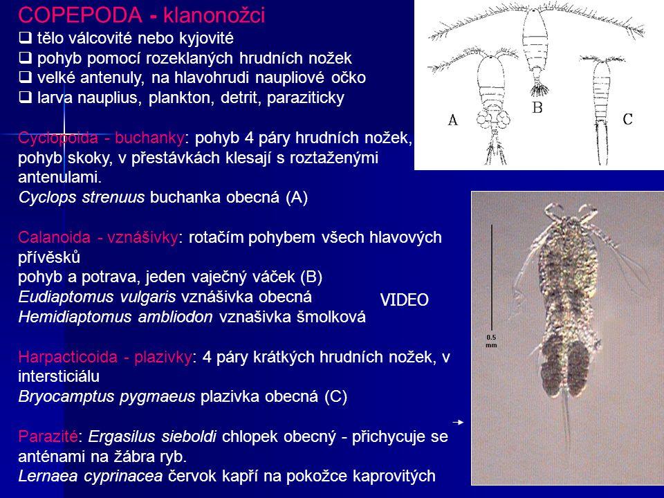 COPEPODA - klanonožci q tělo válcovité nebo kyjovité q pohyb pomocí rozeklaných hrudních nožek q velké antenuly, na hlavohrudi naupliové očko q larva