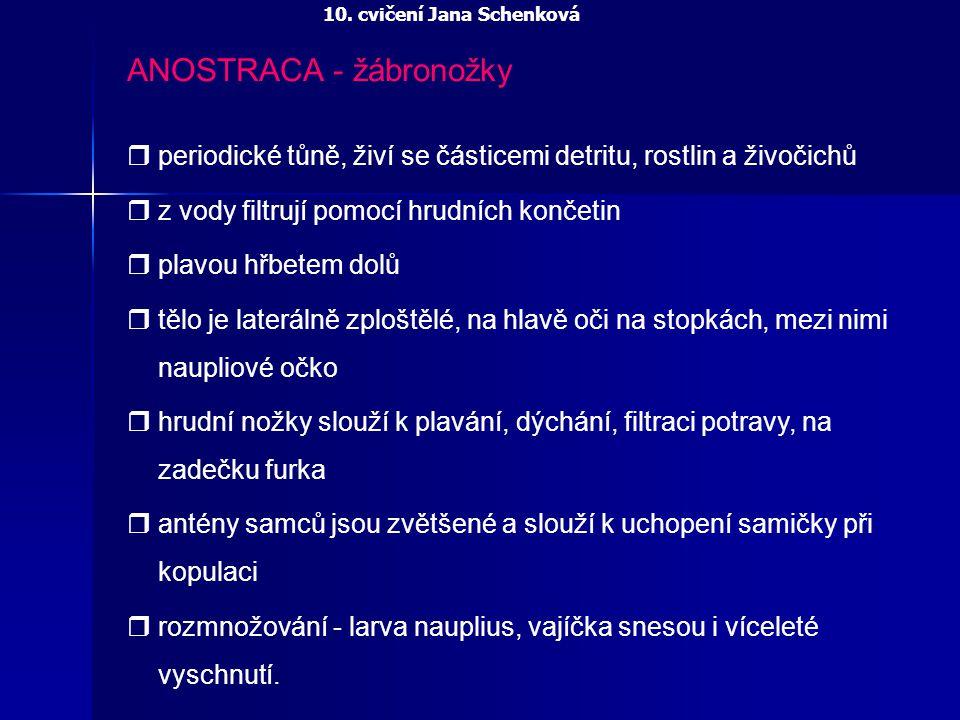 ANOSTRACA - žábronožky Zástupci: Eubranchipus grubii (žábronožka sněžní) Branchipus schaefferi (žábronožka letní) Branchinecta paludosa (žábronožka severská) Artemia salina (žábronožka solná) Streprocephalus torvicornis (žábronožka divorohá) 10.