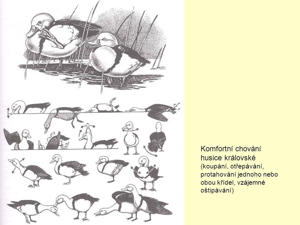 Komfortní chování husice královské (koupání, otřepávání, protahování jednoho nebo obou křídel, vzájemné oštipávání)