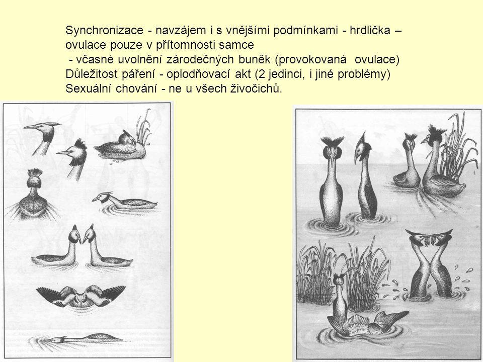 Synchronizace - navzájem i s vnějšími podmínkami - hrdlička – ovulace pouze v přítomnosti samce - včasné uvolnění zárodečných buněk (provokovaná ovula