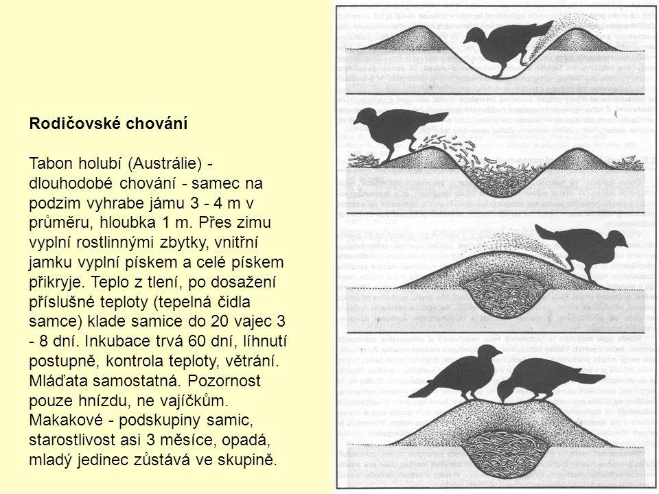 Rodičovské chování Tabon holubí (Austrálie) - dlouhodobé chování - samec na podzim vyhrabe jámu 3 - 4 m v průměru, hloubka 1 m. Přes zimu vyplní rostl