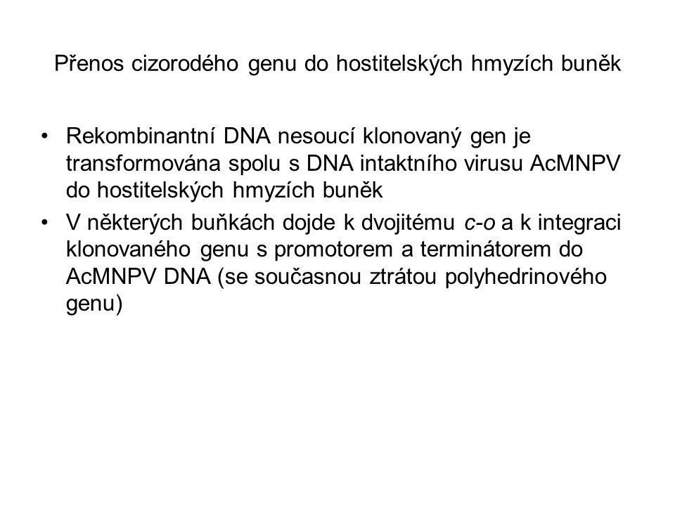 Přenos cizorodého genu do hostitelských hmyzích buněk Rekombinantní DNA nesoucí klonovaný gen je transformována spolu s DNA intaktního virusu AcMNPV d