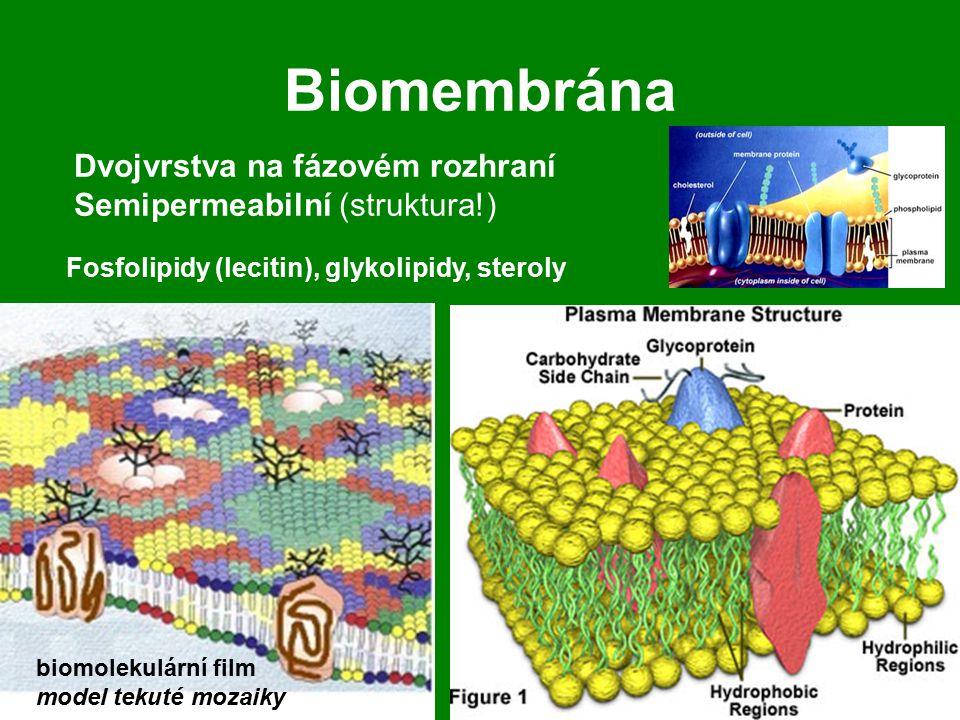 Biomembrána Dvojvrstva na fázovém rozhraní Semipermeabilní (struktura!) Fosfolipidy (lecitin), glykolipidy, steroly biomolekulární film model tekuté m