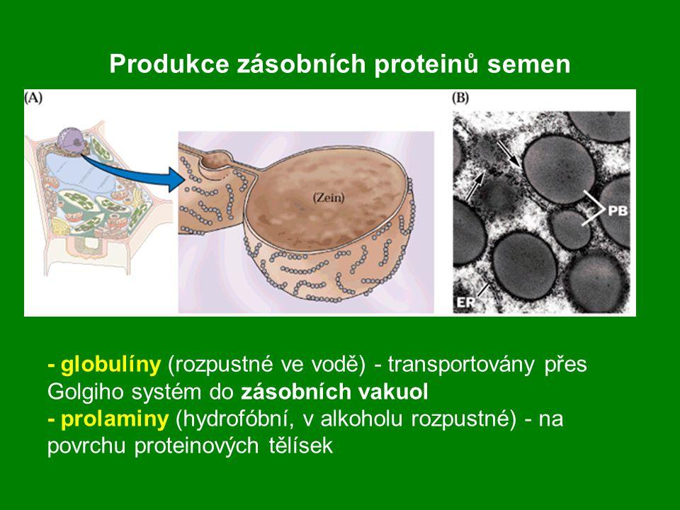 Produkce zásobních proteinů semen - globulíny (rozpustné ve vodě) - transportovány přes Golgiho systém do zásobních vakuol - prolaminy (hydrofóbní, v