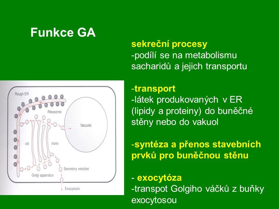 sekreční procesy -podílí se na metabolismu sacharidů a jejich transportu -transport -látek produkovaných v ER (lipidy a proteiny) do buněčné stěny neb
