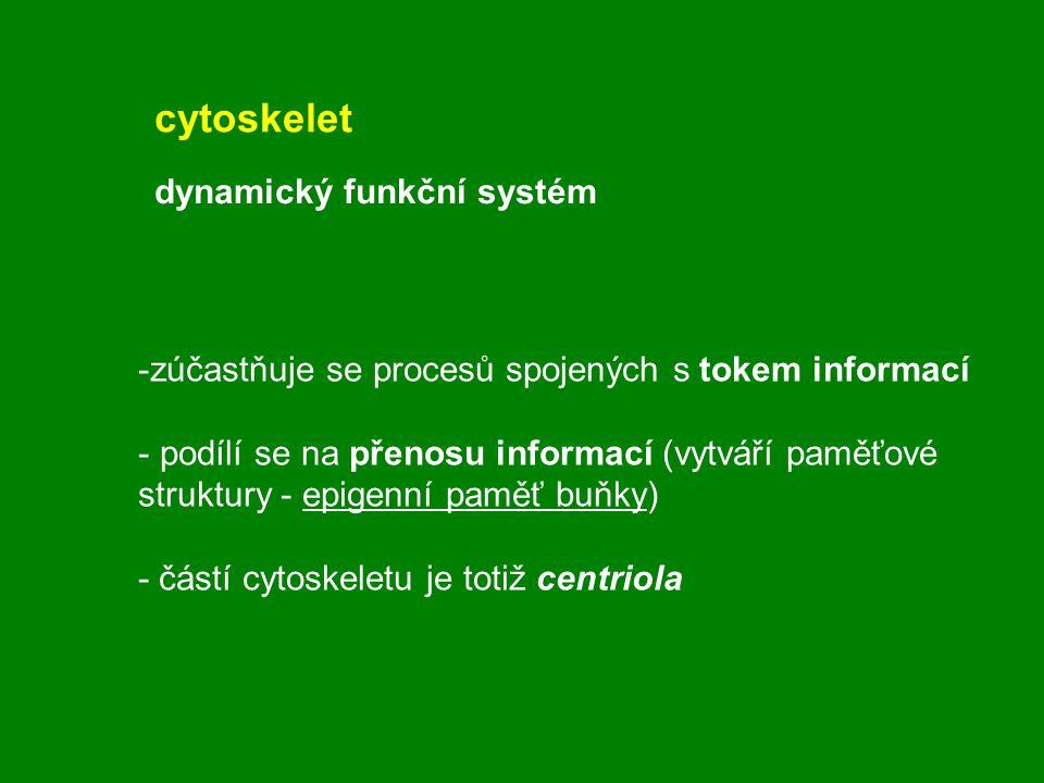 -zúčastňuje se procesů spojených s tokem informací - podílí se na přenosu informací (vytváří paměťové struktury - epigenní paměť buňky) - částí cytosk